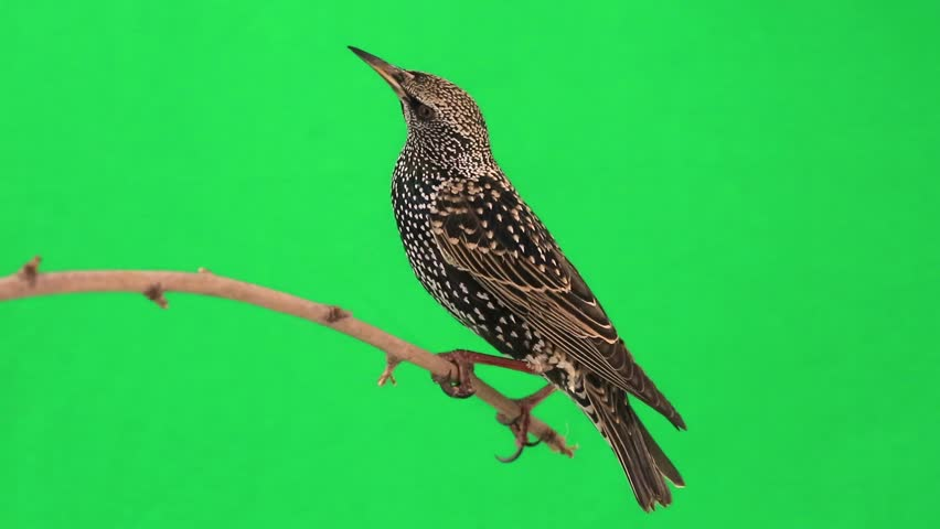 starling on  green screen #9543875