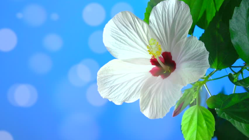 Time-lapse. Blooming red hibiscus flower on a blue background. Bokeh. Easter Spring Holidays nature background.  High speed camera shot. Full HD 1080p. | Shutterstock HD Video #9605405