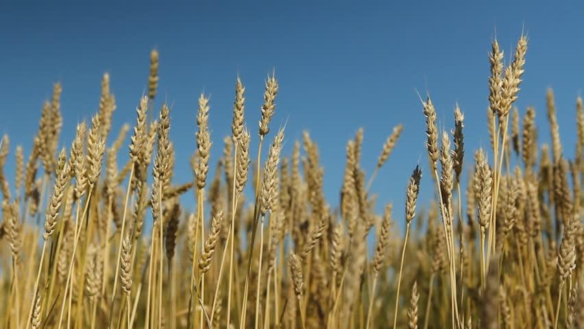 Wheat crop with blue sky. Saskatchewan, Canada. Wheat crop with blue sky background. Shallow DOF. Saskatchewan, Canada.