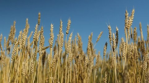 Wheat crop with blue sky. Saskatchewan, Canada.
