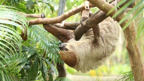 Young Two-toed sloth  sleep on tree