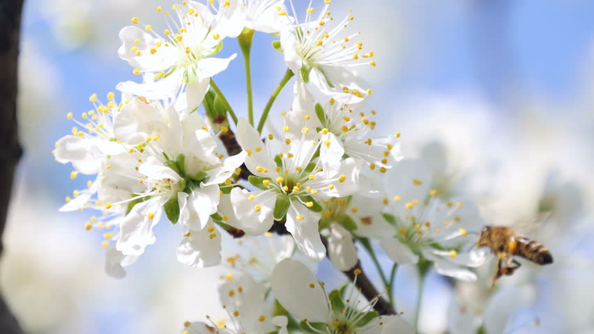 Ultra HD 4 k. Ultra HD 4 k. Sparmopolius fulvus on flower collects honey apple nectar. Close-up.apple | Shutterstock HD Video #9762635