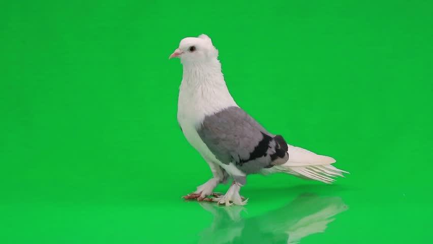 Pigeons on green screen | Shutterstock HD Video #9800015