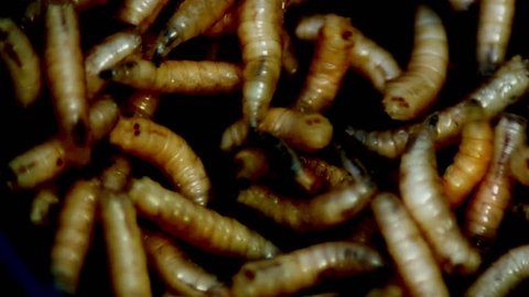 Maggots (Acheta Domesticus )Fat insect larvae,Larva of Meal worm.Bait for Fishing Rod, Worms for Fishing Hook, Food for Fish .