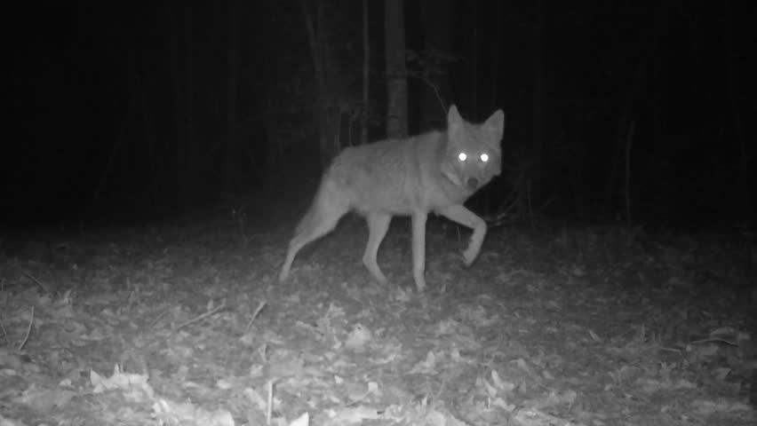 Rare infrared footage of Coyote at night.Coyote (Canis latrans) is a wild canine of North and Central America. It is a cunning, adaptive, and successful predator often hunting in pairs or packs
