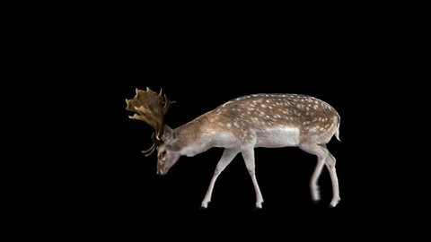 Fallow deer grazing. Two variations with and without horns. Alpha channel included. Cyclic animation with the horizontal movement 1943 pixels for 4K (971 for HD). You can also be used as a silhouette.