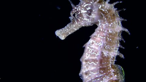 Short-snouted seahorse (Hippocampus hippocampus) swimming in the water column, close-up. Black Sea. Ukraine.