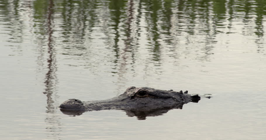 Large alligator swimming in wetlands as its back rises out of water.