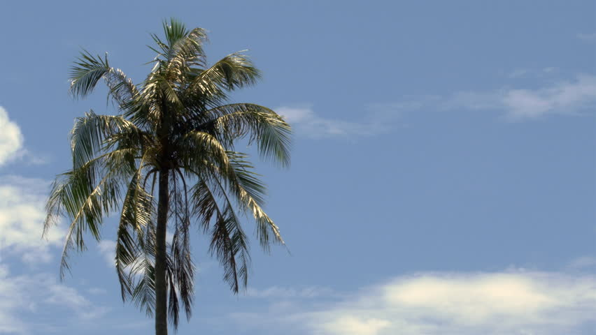 A Palm Tree In Tropical Southeastern Asia Thailand Is Moving The Wind Against Beautiful Blue Sky With Few White Clouds This 30p Version