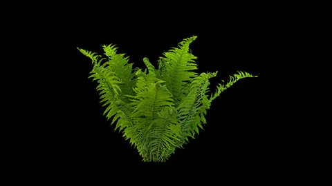High quality 10bit footage of fern on the wind with Alpha Channel in ProRes.