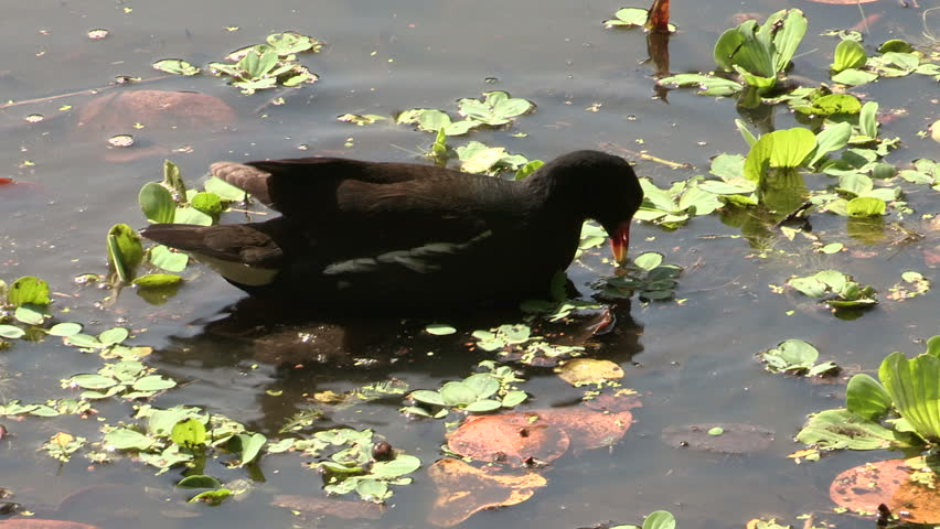 Common Moorhen mother feeding her chicks in the water #996745